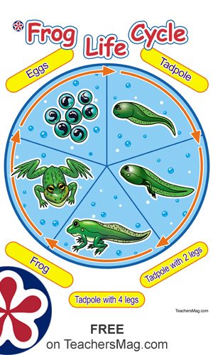Worksheets and a Poster About the Frog Life Cycle for Preschoolers